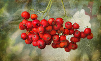 Photograph - Spring Mountain Ash Berries  by Betty  Pauwels