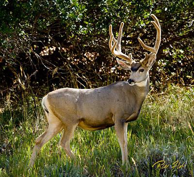 Photograph - Spring Mountain Buck by Rikk Flohr