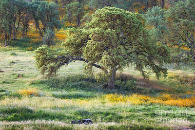Photograph - Spring Oak by Anthony Bonafede