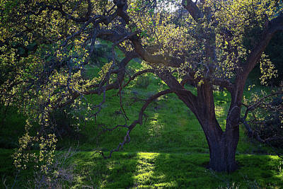 Photograph - Spring Oak In Evening Light by Lynn Bauer