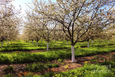 Photograph - Spring Orchard by Rachel Cohen