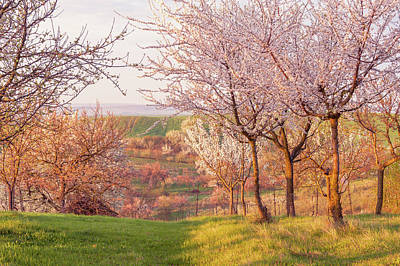Spring Orchard With Morring Sun Art Print