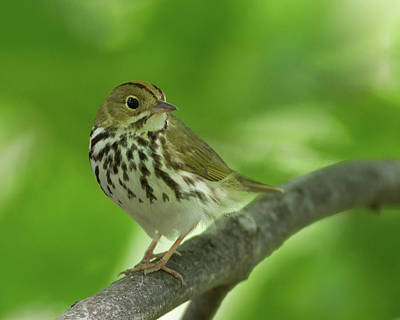 Photograph - Spring Ovenbird  by Timothy McIntyre