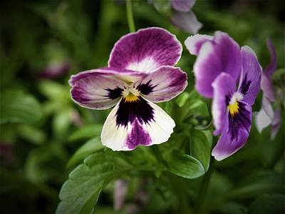 Photograph - Spring Pansy  by Bob Johnson