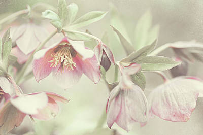 Hellebore Photograph - Spring Pastels by Jenny Rainbow