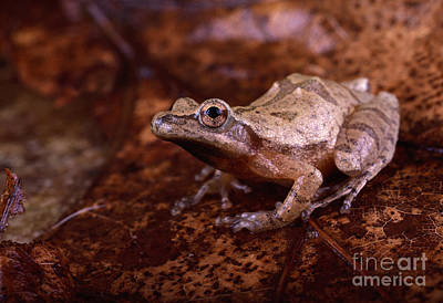 Spring Peepers Photograph - Spring Peeper by Lynda Richardson