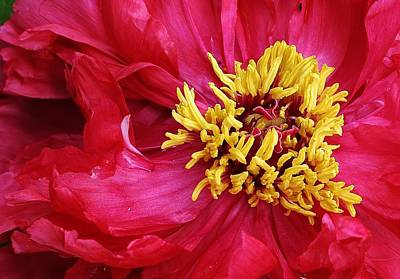 Photograph - Spring Peony by Bruce Bley