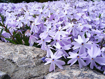 Photograph - Spring Phlox by Margie Avellino