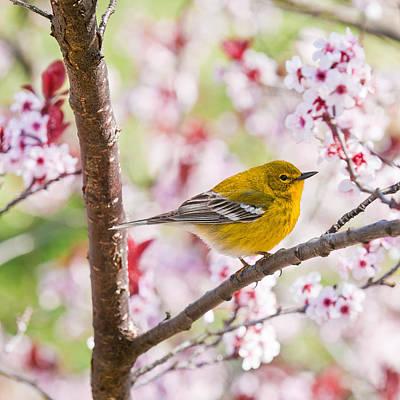 Photograph - Spring Pine Warbler 2016 by Lara Ellis