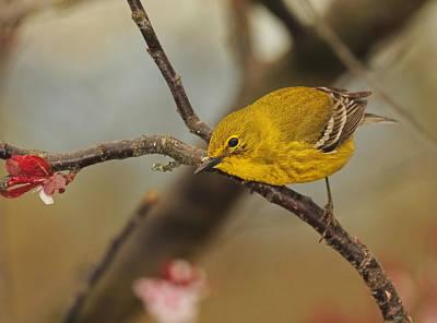 Photograph - Spring Pine Warbler by Lara Ellis