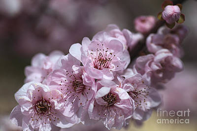 Photograph - Spring Pink Blossom Makes You Sing by Joy Watson