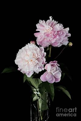 Photograph - Spring Pink Peonies by Jeannie Rhode