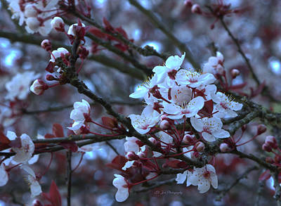Photograph - Spring Plum Blossoms by Jeanette C Landstrom
