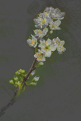 Photograph - Spring Plum Blossoms by Rick Strobaugh