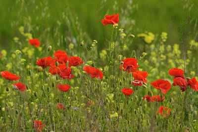 Photograph - Spring Poppies  by Cliff Norton