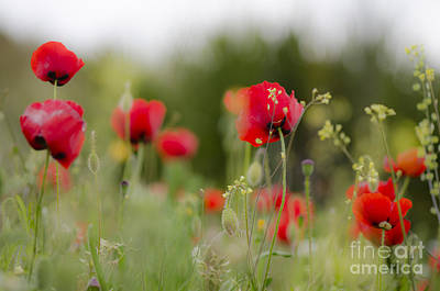 Spring Poppies  Art Print by Perry Van Munster
