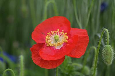Photograph - Spring Poppy 2 by Lynn Hopwood