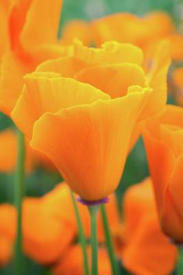 Photograph - Spring Poppy Perfection by Lynn Bauer