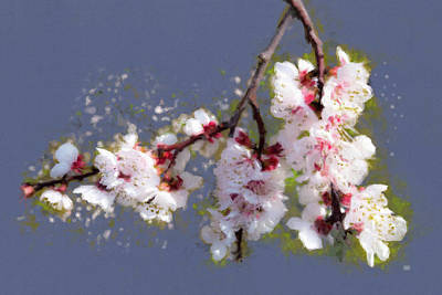 Painting - Spring Promise - Apricot Blossom Branch by Menega Sabidussi