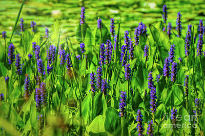 Photograph - Spring Purple Pond Flowers by Peggy Franz