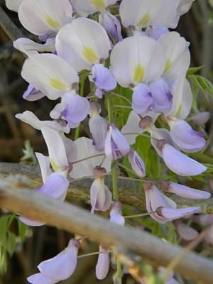 Spring Purple Wisteria Original