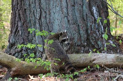 American Photograph - Spring Raccoon At Roseland Lake  by Neal Eslinger