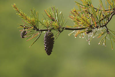 Pine Cones Photograph - Spring Rain And Pinecone by Michael Eingle