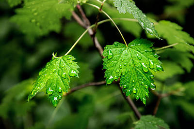 Photograph - Spring Rain On Leaves by Vic Bouchard