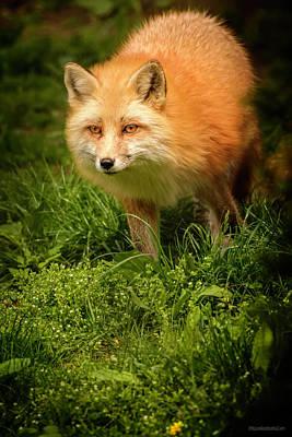 Dog In Landscape Photograph - Spring Red Fox by LeeAnn McLaneGoetz McLaneGoetzStudioLLCcom