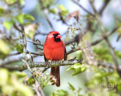 Photograph - Spring Red - Male Cardinal by Kerri Farley