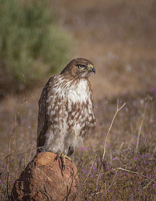 Photograph - Spring Red Tailed Hawk 2 by Rick Mosher