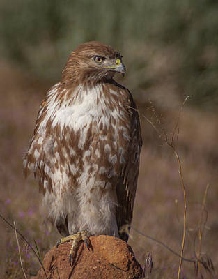 Photograph - Spring Red Tailed Hawk by Rick Mosher