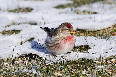 Thawing Time Photograph - Spring Redpoll 1 Of 2 by Cathy Sullivan