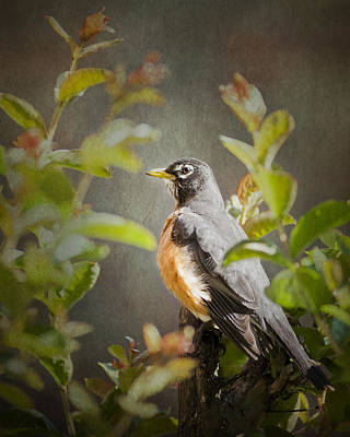 Photograph - Spring Robin by Jeff Mize
