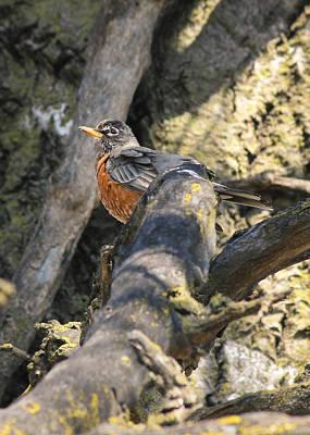 Photograph - Spring Robin by Viviana  Nadowski