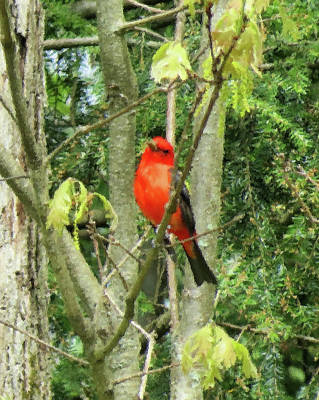 Photograph - Spring Scarlet Tanager - Brush Strokes by MTBobbins Photography