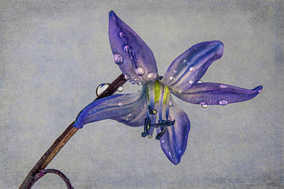 Photograph - Spring Scilla Flower W/texture by Patti Deters