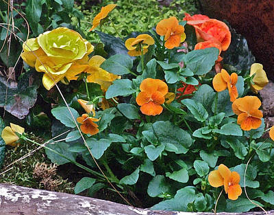 Photograph - Spring Show 13 Orange Pansies by Janis Nussbaum Senungetuk