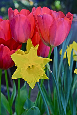 Photograph - Spring Show 14 Large Red Tulips And Daffodil by Janis Nussbaum Senungetuk
