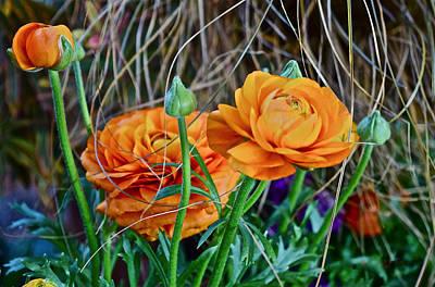 Photograph - Spring Show 16 Orange Ranunculus 3 by Janis Nussbaum Senungetuk