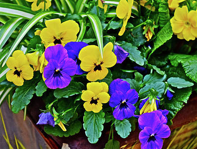 Photograph - Spring Show 16 Pansies by Janis Nussbaum Senungetuk