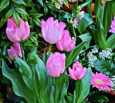 Photograph - Spring Show 16 Pink Tulips by Janis Nussbaum Senungetuk