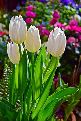 Photograph - Spring Show 16 White Tulips by Janis Nussbaum Senungetuk