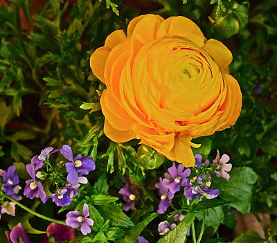 Photograph - Spring Show 16 Yellow Ranunculus 3 by Janis Nussbaum Senungetuk