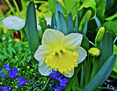 Photograph - Spring Show 17 Daffodil Close-up by Janis Nussbaum Senungetuk