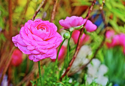 Photograph - Spring Show 17 Pink Ranunculus 1 by Janis Nussbaum Senungetuk