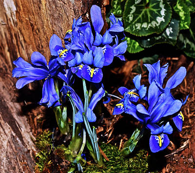 Photograph - Spring Show 17 Siberian Iris 1 by Janis Nussbaum Senungetuk