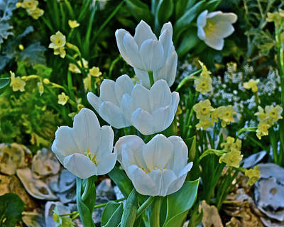 Photograph - Spring Show 18 White Tulips And Minnow Daffodils by Janis Nussbaum Senungetuk