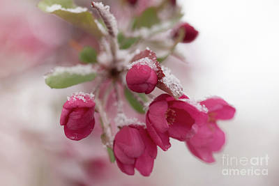 Photograph - Spring Snow by Ana V Ramirez