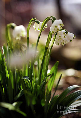 Small Forest. Beauty Photograph - Spring Snowdrop Flowers by Catalin Petolea